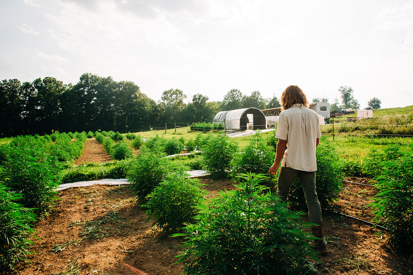hemp field and hoophouse