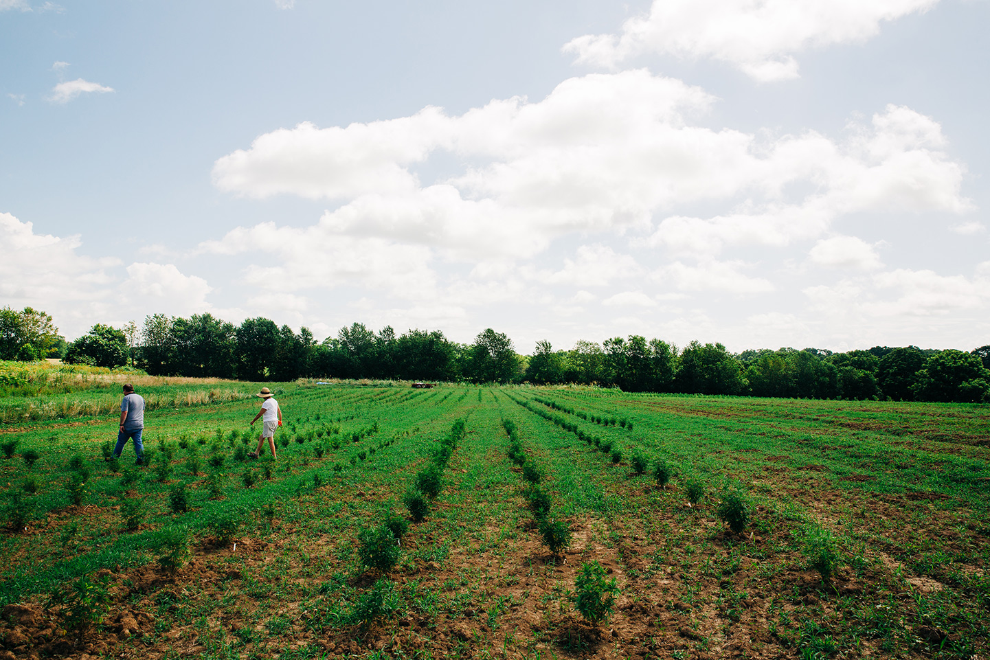 kentucky hemp field