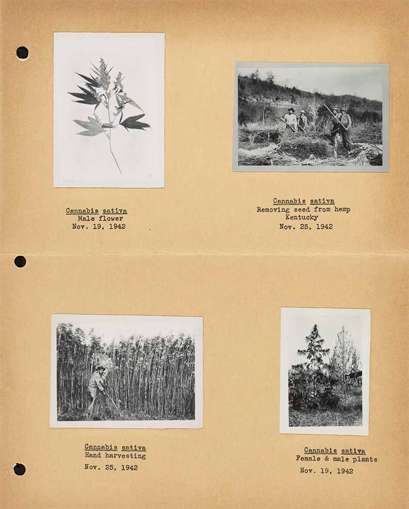 four historic hemp photos
