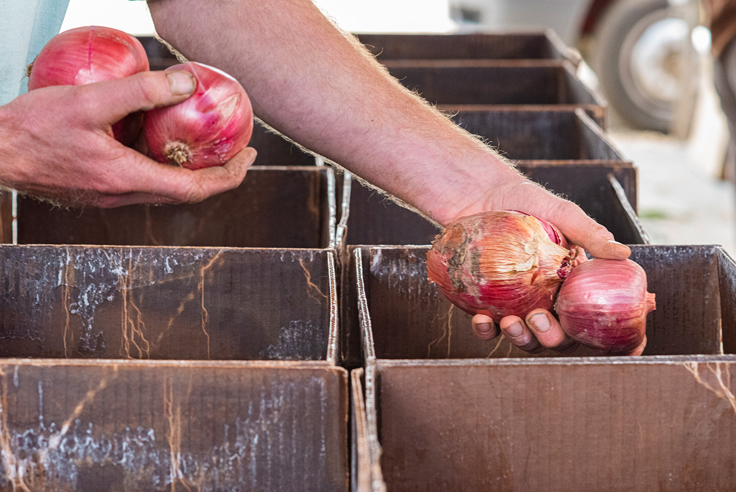 sorting onions into boxes